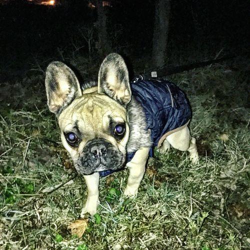 Khaleesi Khaleesi Photooftheday Dog Animal Themes Pets Frenchbulldog Bouledoguefrancais