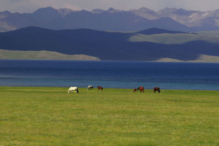 Horses in Kyrgyzstan near the Song Kol lake Blue Lake Horses Kyrgyzstan Animal Themes Animals In The Wild Beauty In Nature Day Domestic Animals Field Grass Landscape Livestock Mammal Mountain Mountain Range Nature No People Outdoors Pastures Burnt Both Sides Of Road Scenics Sea Song Kol Lake Togetherness Tranquil Scene Water