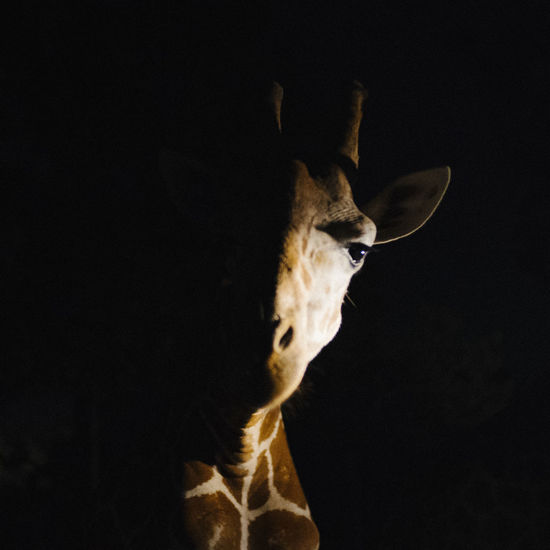长脖子瓜子脸哦 Animal Themes Animals In The Wild Travel Black Background Portrait Close-up Giraffe Safari Animals