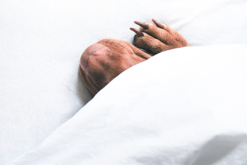 Magyar Vizsla nose peaking out underneath blanket. In Bed Morning Sleeping Dog White Blanket Bed Blanket Close-up Cute, Sw Day Domestic Animals Indoors  Indoors  Magyar Vizsla Mammal Nose One Animal Paw Peaking Out Pets Relaxation Sweet Tired Underneath White Background
