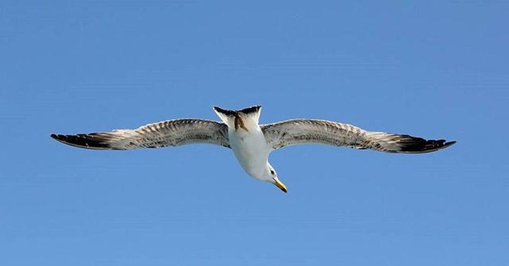 Uccello Involo Seagull Pulebardhe Gabbiano Cielo Blu Sky Qielli Nefluturimesiper