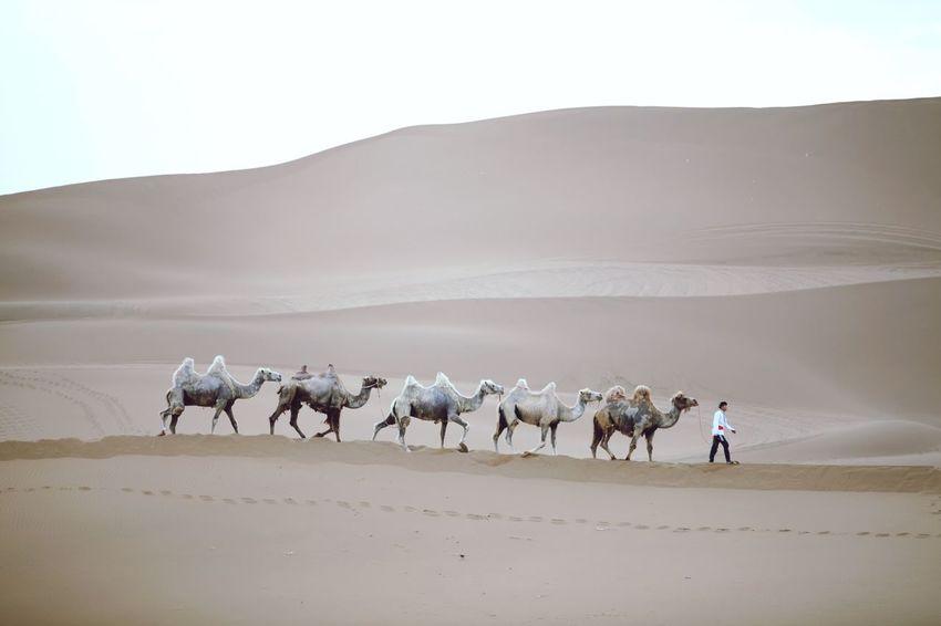 Camel collection Camel Trip Camels Camel Animal Themes Domestic Animals Animal Mammal Group Of Animals Landscape Livestock Desert Walking Sky Sand Sand Dune Animal Wildlife Nature Pets Environment Scenics - Nature Land