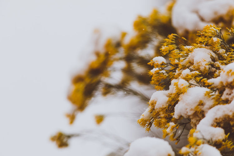 Plant Close-up Beauty In Nature Flower Growth Flowering Plant Nature Vulnerability  Fragility Selective Focus Freshness No People Day Winter Snow Cold Temperature White Color Focus On Foreground Outdoors Yellow Flower Head Lichen