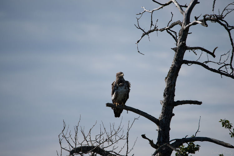 Animal Wildlife Beauty In Nature Bird Bird Of Prey Branch Day Full Length Juvenile Bald Eagle Landscape Leopard No People One Animal Outdoors Perching Sky Tree Wonderlust