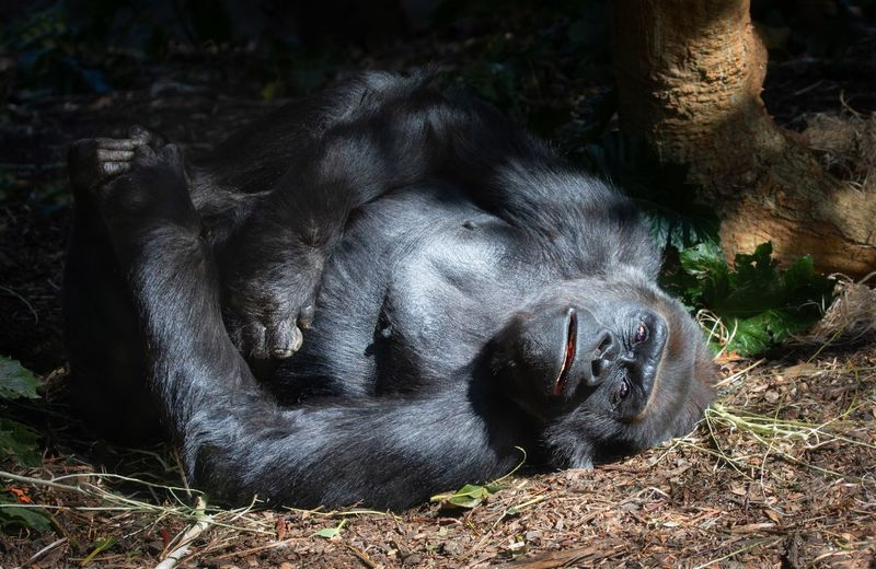 View of an ape sleeping on ground looking at camera