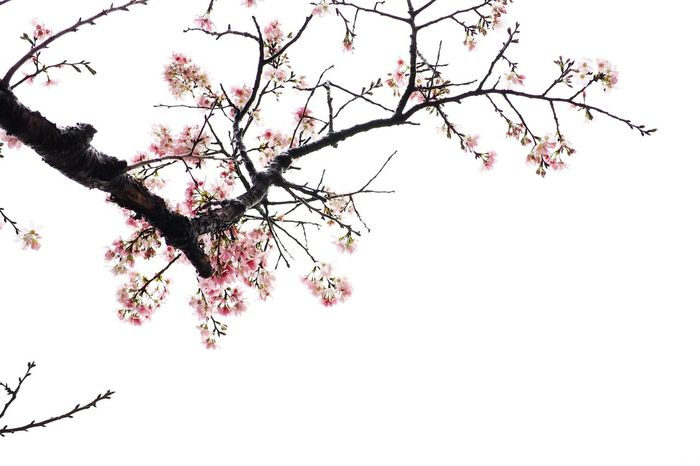 Flower Cherry Blossom Tree Blossom Cherry Tree Springtime Beauty In Nature Nature Pink Color Growth Changhua, Taiwan