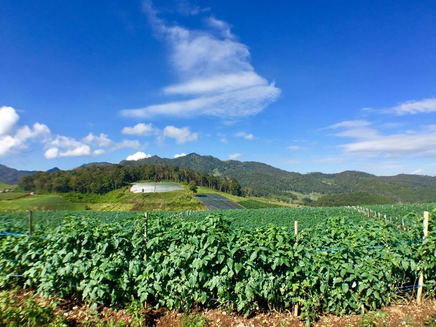 Agriculture Beauty In Nature Blue Cloud - Sky Crop  Day Farm Field Freshness Green Color Growth Landscape Mountain Mountain Range Nature No People Outdoors Plant Rural Scene Scenics Sky Tea Crop Tranquil Scene Tranquility