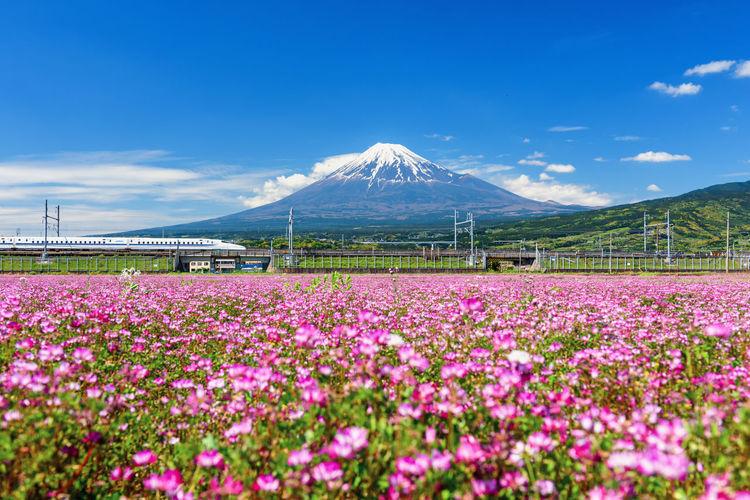 Jr shinkansen pass shibasakura and mountain fuji, shizuoka