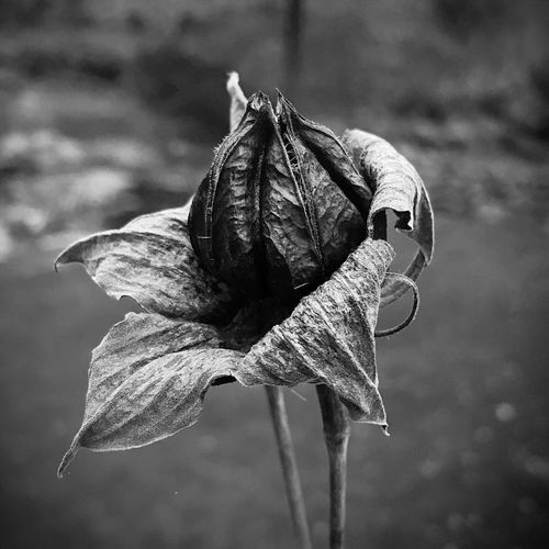 Hibiscus moschuetos seed pod in black and white EyeEm Best Shots EyEmselect Dry Leaf No People Close-up Focus On Foreground Nature Flower Day Outdoors Dead Plant Fragility Wilted Plant Plant Growth Beauty In Nature Flower Head