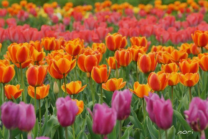 雨の月曜日☔気分だけでも晴れやかに🌷おはようございます(^-^ゞ ~Chulip field ~Goodmorning Flower Flowers EyeEm Nature Lover EyeEm Flower Flower Collection Landscape *CHIE* Kagoshima 過去photoより。