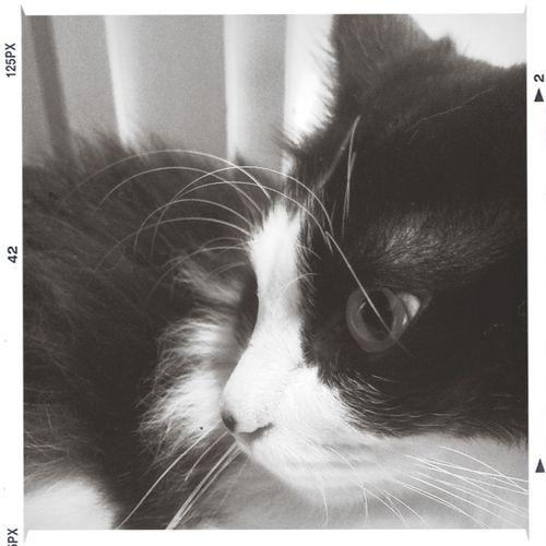 Cat Neko Black And White Nyaon