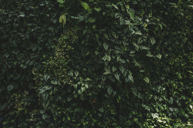 leaf wall Leaf Leaves Wall Textured  Texture Green Natural Backgrounds Flora Plant Part Growth Plant Full Frame Nature No People Day Outdoors Green Color Beauty In Nature Tree Tranquility Foliage Freshness Lush Foliage Close-up Land Botany