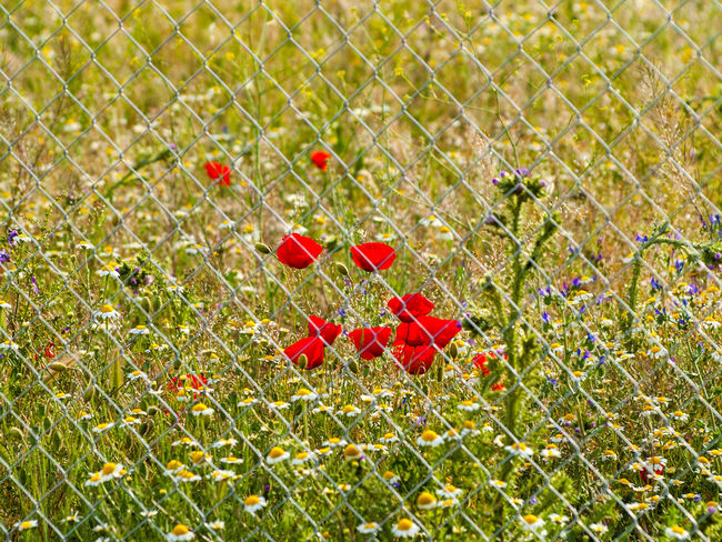 Beauty In Nature Close-up Contrast Day Fence Field Flower Grass Green Color Growth Meadow Metallic Fence Nature Nature No People Outdoors Plant Poppy Poppy Flowers Private Red Spring Springtime Tiny Wildflower