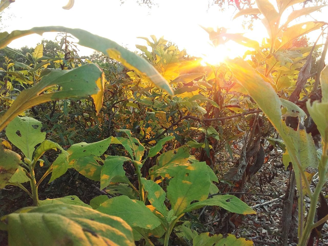 growth, leaf, nature, plant, green color, no people, outdoors, beauty in nature, sunlight, banana tree, agriculture, day, freshness, close-up