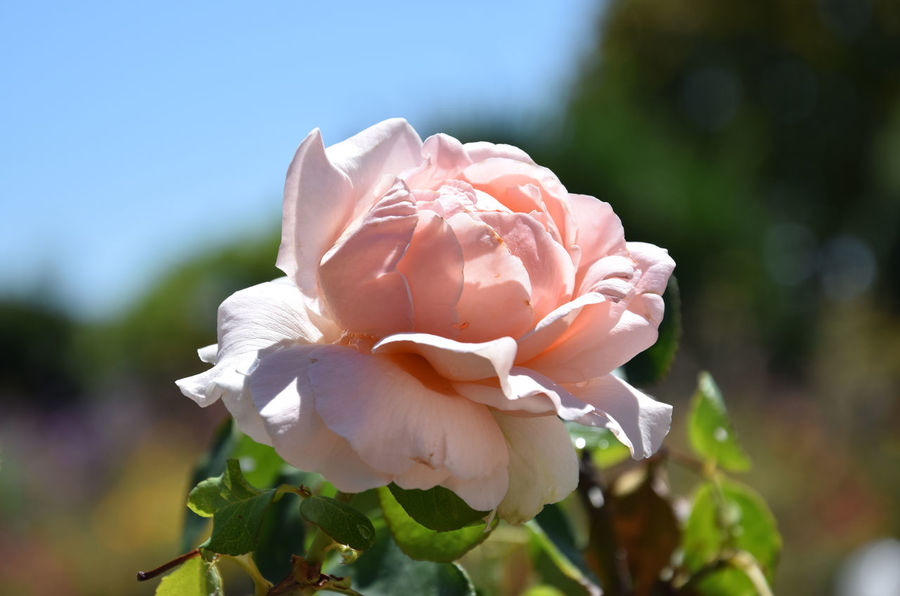 Rose Petals Rose Collection Rose♥ Beauty In Nature Blooming Close-up Day Flower Flower Head Flowers Focus On Foreground Fragility Freshness Growth Nature No People Outdoors Petal Plant Rose - Flower Roses Roses🌹 Rose🌹 Rosé Sunshine