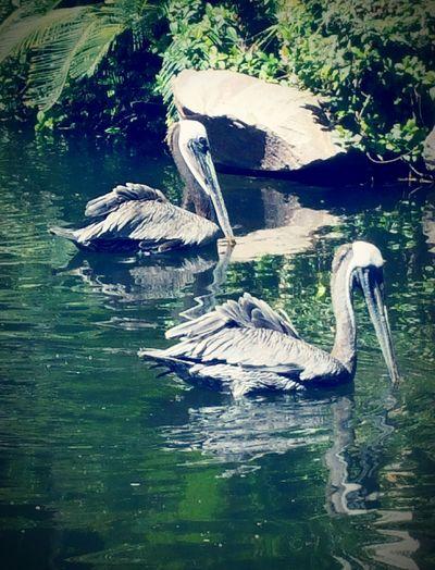 Two Is Better Than One Nature Pelicans Birds Rescuebirds Wildlife Habitat Popular Photos Nature Photography Las Vegas