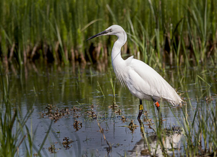 Little Egret Animal Animal Themes Animal Wildlife Animals In The Wild Bird Day Egret Fishing Grass Lake Little Egret Nature No People One Animal Plant Plumage Reflection Vertebrate Water Water Bird Waterfront White Color