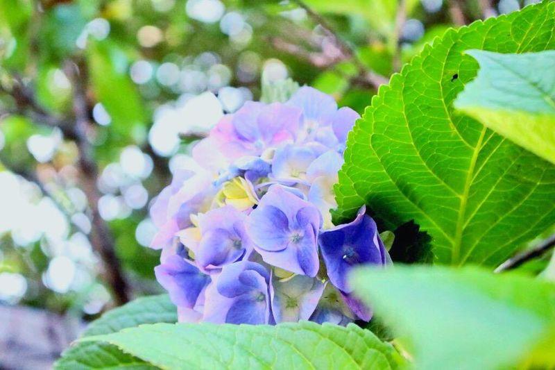 紫陽花 Hydrangea 毒 Poison 冷淡 Cold 無情 Heartless 高慢 Arrogant 辛抱強い愛情 Patient Love あなたは美しいが冷淡だ