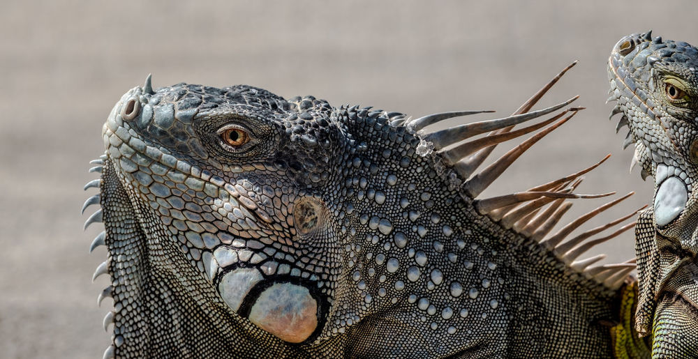 Vegans Iguana Lizards Nature Sunny Close-up Outdoors Photographyisthemuse Reptiles Two Of A Kind Wildlife