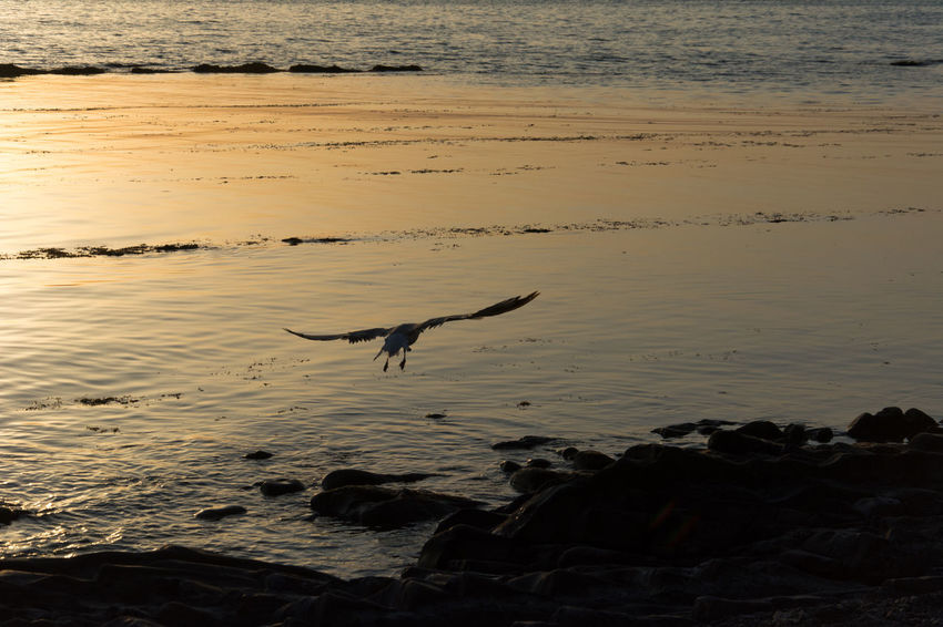 Seagull flight Gull Gulls In Flight Gulls Sunset Sunset_collection Sea Sea And Sky Seascape Backgrounds Water One Animal Sea Beach Animal Wildlife Nature Animal Themes Animals In The Wild Outdoors No People Bird