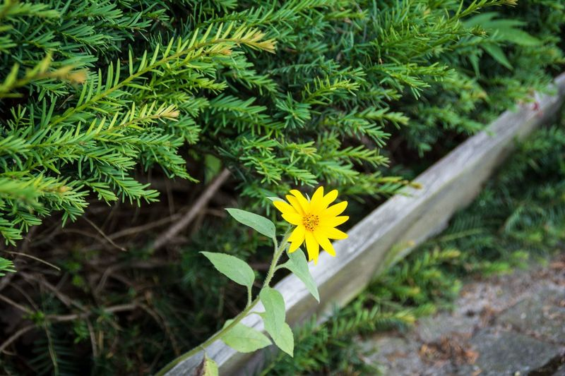 Just an ordinary flower between fir. Nothing to really care about. Or should I? Picoftheday Flower Fir Tree Nikon D5200
