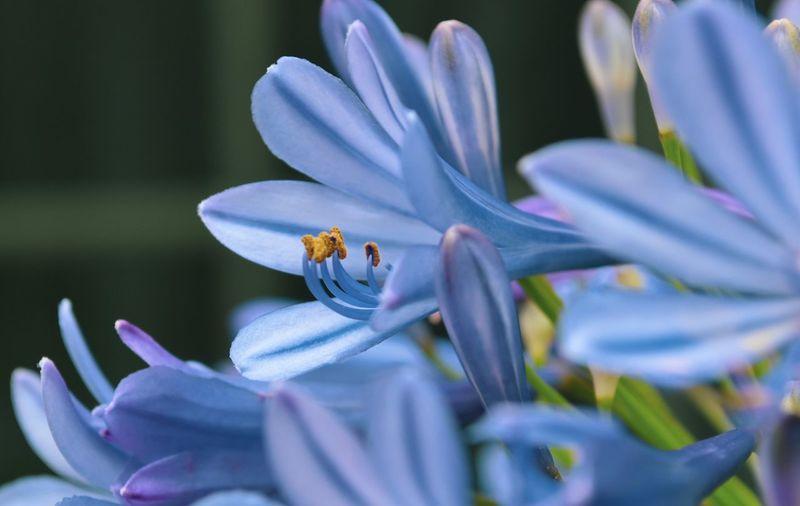 Close-up of purple crocus
