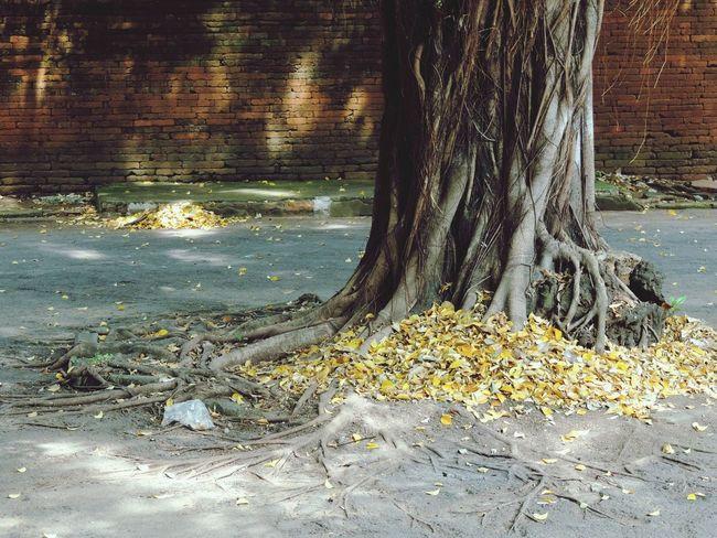 Autumn in Cirebon  , INDONESIA Keraton Kasepuhan Palace Old Tree Autumn Colors Bricks Brick Wall Old But Gold
