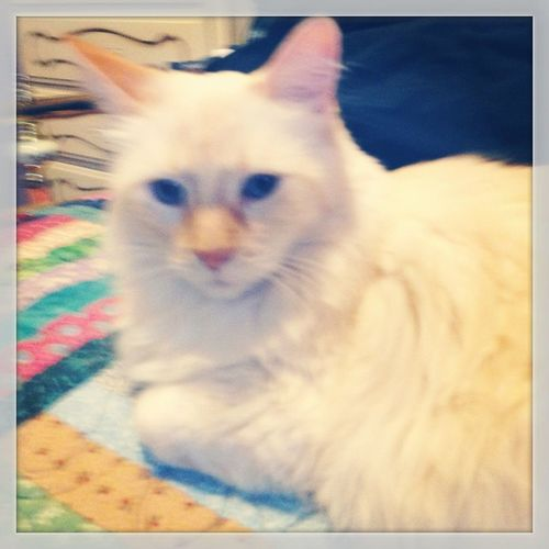 Homemadequilt Cat Feline Flamepoint flamepointsiamese siamese siamesecat orangenwhite blueeyes mybaby peach peaches peachy peachesncream peachymarie