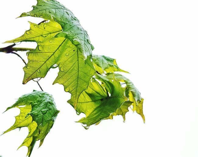 Green Color White Background Leaf Plant Part Plant Textured  No People Close-up Nature Freshness Day EyeEmNewHere Waterdrops Beauty In Nature Rainy Days☔ Cut Out On White Cut And Paste