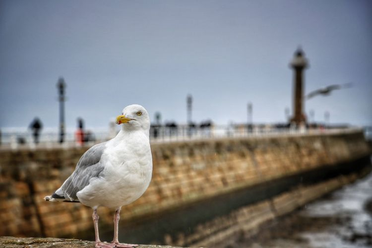Whitby Whitby Whitby Abbey Animal Themes Bird Animal Vertebrate Animal Wildlife Animals In The Wild One Animal Seagull Nature Focus On Foreground Perching No People Day Sky White Color Portrait Outdoors Transportation Close-up Sea