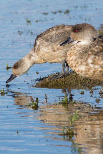 Mallard Duck At Lakeshore