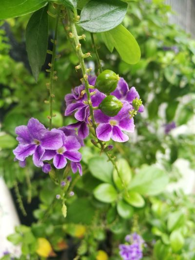 sky flower, Golden dew drop, Pigeon berry, Duranta Golden Dew Drop Pigeon Berry Duranta Sky Flower Flower Purple Leaf Close-up Plant Green Color