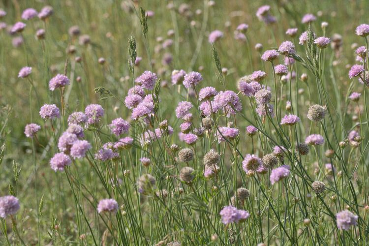 Flower Plant Growth Vulnerability  Fragility Field Land Nature Beauty In Nature Freshness Close-up Purple Flowerbed Focus On Foreground Selective Focus Flower Head Pink Color Flowering Plant Meadow Meadow Flowers Flower Photography Flower Collection Fieldscape Field Nature_collection Nature Photography Naturelovers EyeEm Nature Lover EyeEm Gallery Eye4photography  Beauty In Ordinary Things Scenics - Nature Natural Beauty Beautiful Beautiful Nature Outdoors No People Day Flowers, Nature And Beauty