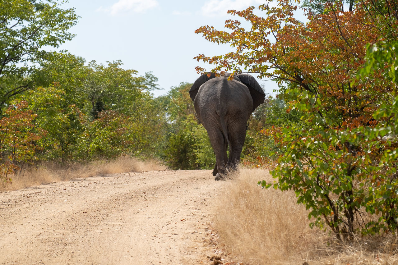 ELEPHANT IN A DIRT ROAD