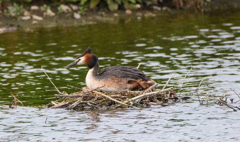 Great crested grebe on a nest Animal Themes Animal Wildlife Animals In The Wild Bird Bird Nesting Bird On A Nest Bird Photography Bird Watching Birds Birds Of EyeEm  Birds_collection Birdwatching Great Crested Grebe Lake Nature Nesting Birds Nesting Place Water Water Bird