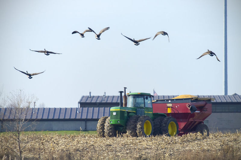 Late November Field Hopper Tractor Animal Themes Animal Wildlife Animals In The Wild Bird Canada Geese Clear Sky Day Farming Flying Harvest Large Group Of Animals Magration Mid-air Nature No People Outdoors Rural Scene Skein Sky Soybeans Spread Wings