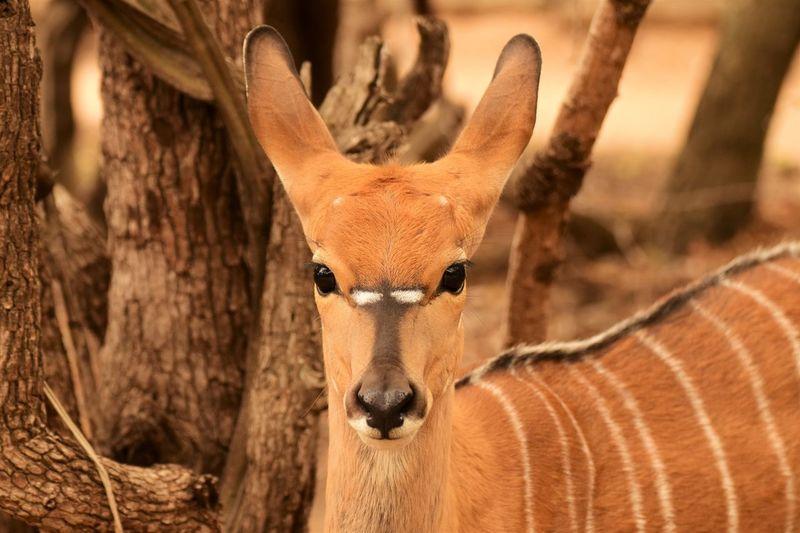 Close-up portrait of antelope