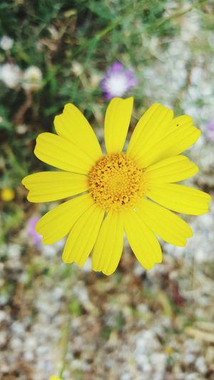 Flower Yellow Petal Fragility Flower Head Freshness Nature Plant Outdoors Beauty In Nature Blossom Focus On Foreground Uncultivated Growth Day Wildflower No People Close-up Summer Springtime