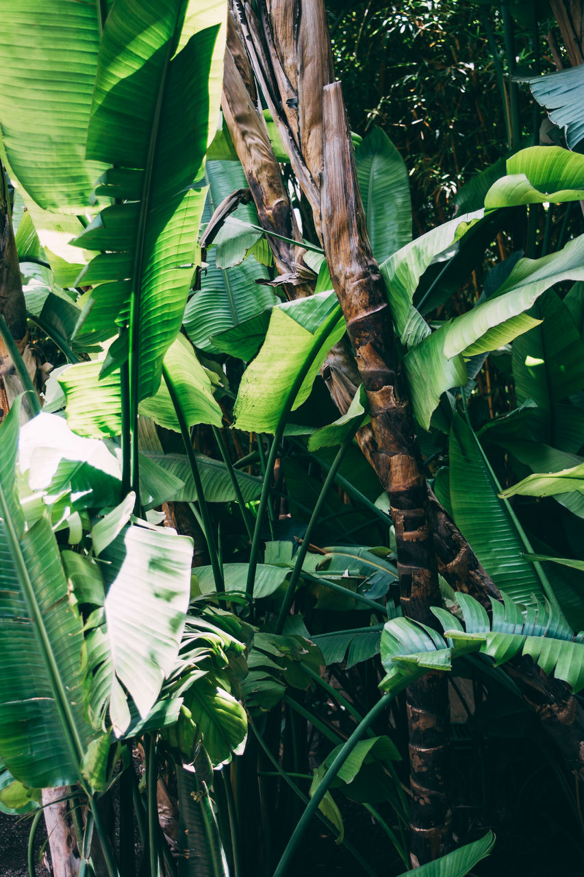 leaf, growth, green color, plant, banana tree, nature, no people, day, outdoors, tree, banana leaf, beauty in nature, close-up, freshness
