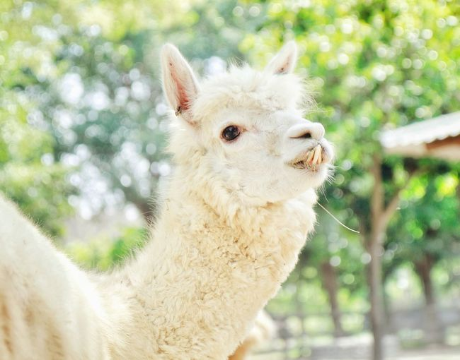 Close-up of alpaca by trees