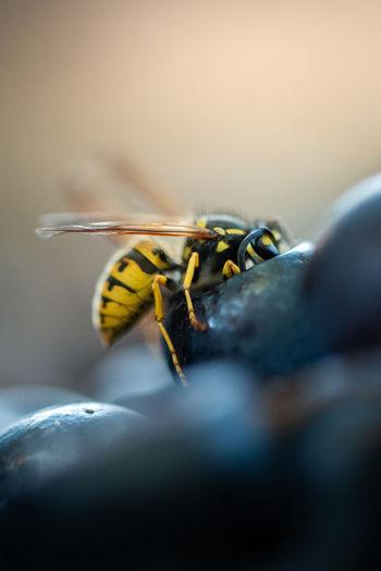 Macro shot of wasp on fruit