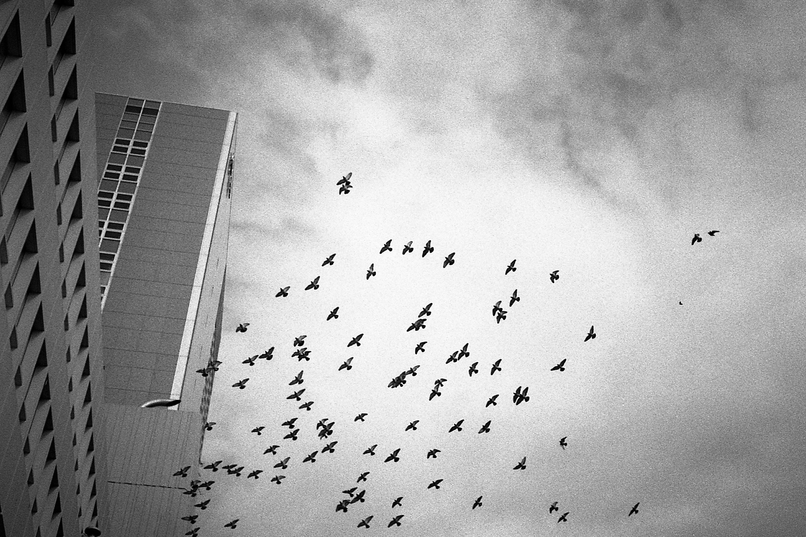 large group of animals, bird, animal themes, flying, animals in the wild, flock of birds, no people, sky, outdoors, day, nature, migrating, close-up
