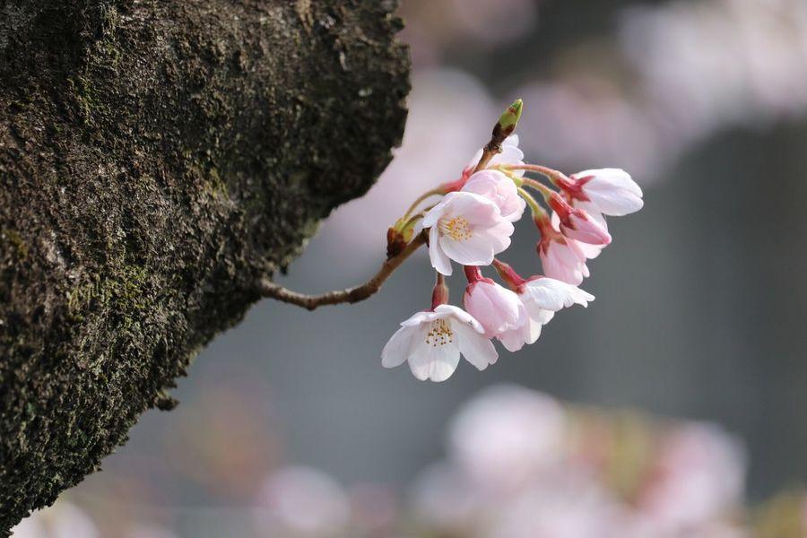 Flower Flower Head Open Canonphotography Open Edit For Everyone OpenEdit Canon 開花 Free Open Edit Flowers,Plants & Garden Flowers Tokyo 春ですね