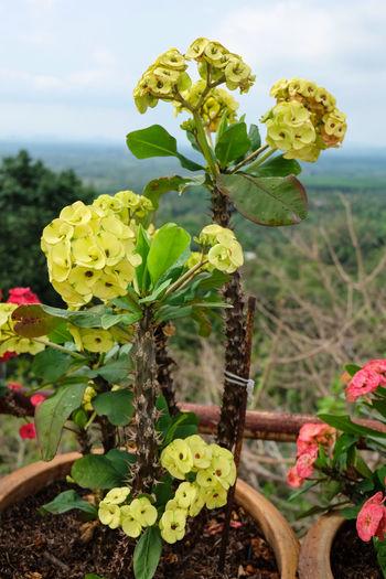 วัดเขาสุกิม Blooming Botany Day Depth Of Field Eight Immortals Flower Focus On Foreground Fragility Freshness Growing Growth Leaf Nature New Life No People Petal Plant Selective Focus Springtime Stem Yellow