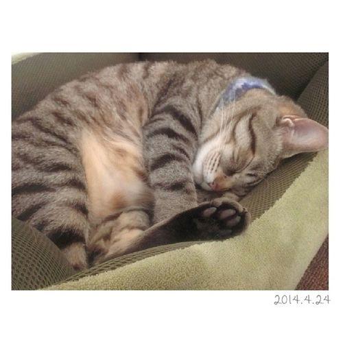 起きたと思ったらすぐまたベッドへ……* 今日は朝からもどして、ちょっと体調の悪い金太郎。。 ∞ どしたかなー? 朝はまだ冷えるからこたえちゃったかな? 早くいつものやんちゃ郎に会いたいよ♩゜ 金太郎 きんたろう ねこ 猫 にゃんこおやばか親ばか部catig_cat1歳11ヶ月来月で2歳ネコにもイヤイヤ期あるのかな?