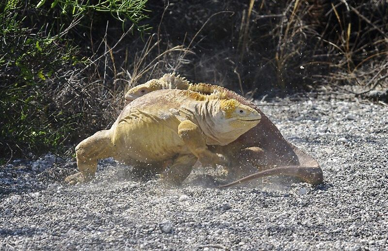 rumble in the jungle. male land iguana fighting over territory, Animal Themes Animals In The Wild Wildlife Zoology Outdoors Nature No People Galapagos Islands Wildlife Photography Nature Iguana