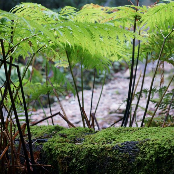 greenery Nature Lover Greenery Botanical Nature Photography Tranquility Beauty In Nature Travel Photography Botany Fallen Tree Moss Fern Nature Beauty Riverside Forest Find Forest Plant Nature Travel Japan Yakushima Travel Breeze Calm Day Japan