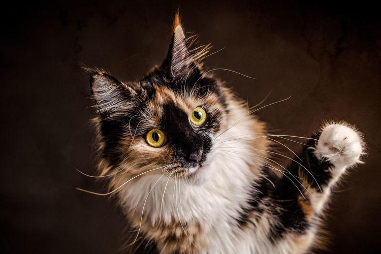Close-up portrait of maine coon cat against black background