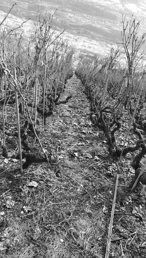 wine yard is sleeping, la vigne dord , Wine Yard Before The Waist, Vigne Avant La Taille, 2017, Savièse , Without Touch-ups , Sans Retouches , EyeEmNewHere Huawei Leica P9
