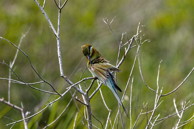 Blue tailed bee-eater Animal Wildlife Animals In The Wild Animal Animal Themes Bird One Animal Perching Plant Branch No People Focus On Foreground Nature Tree Day Close-up Outdoors Bare Tree Beauty In Nature Songbird